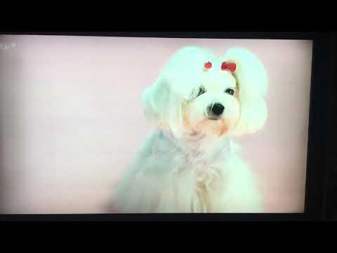 Top 100 dog's ITV MALTESE TINKERBELL