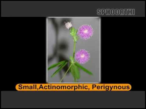 19 Mimosoideae