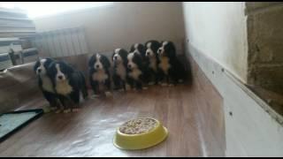 Бернский Зенненхунд щенки 2 месяца ждут команды