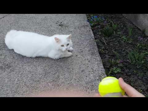 Angora cat plays ball
