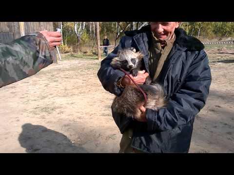 Енотовидная собака