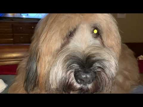 The Briard and the Bengal - Playtime