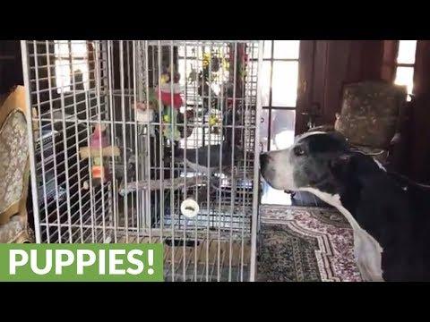 Great Danes meet parrots evacuating Hurricane Irma