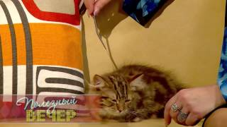 Породы кошек: Манчкины