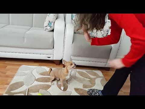 Badi Gelen Misafire Çak Yapmayı Öğretiyor (Dog Chihuahua Buddy Şivava)