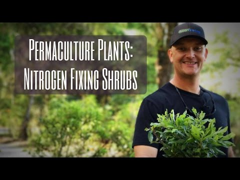 Permaculture Plants: NITROGEN FIXING SHRUBS in the Food Forest