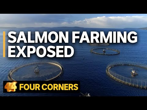 Salmon farming exposed: Does the industry's 'green image' stack up? | Four Corners
