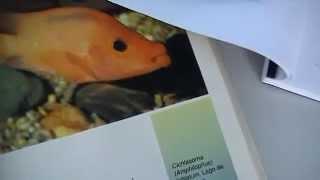 The Midas Cichlid Evolutionary History of a Species Pt. 2