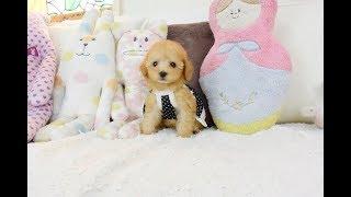 お顔の詰まった、女の子らしい、とても可愛い子犬です。毛色は綺麗なア...