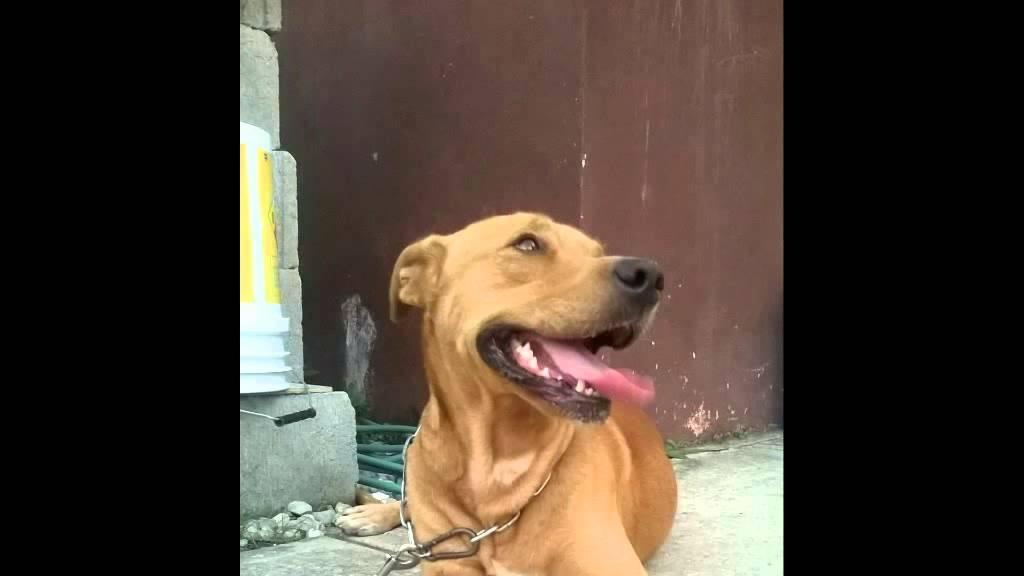 Cruce De Pitbull Con Labrador Como Fue Cambiando