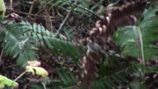 Lucy's Warbler in Pt. Reyes, California Dec 2012