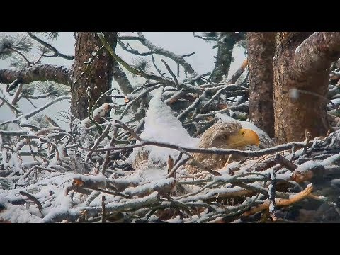 Eagles in the snow