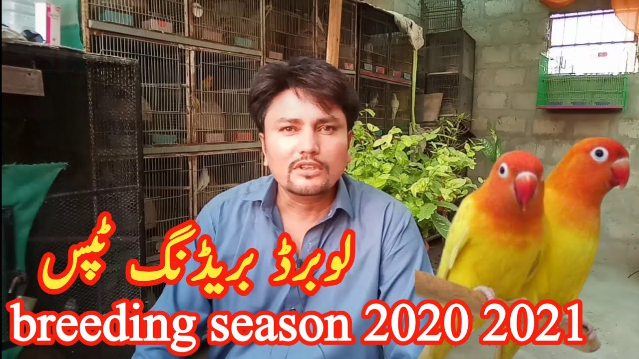 important tips about love birds breeding season 2020 and 2021