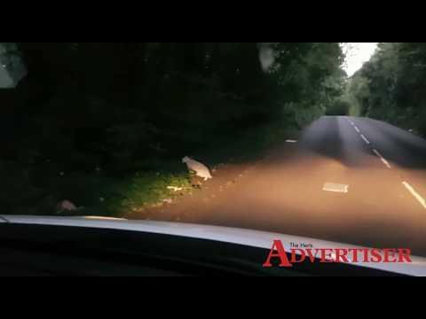 Big cat sighting in St Albans captured on film