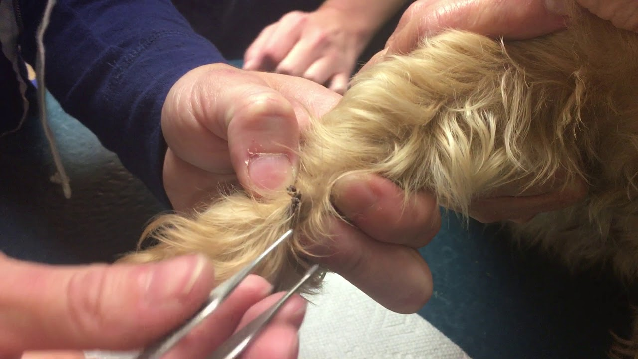 Cyst On Dog U0026 39 S Paw Popped By Vet