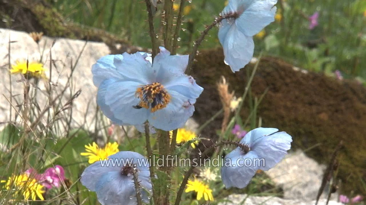 Himalayan blue poppy claimed to be the most beautiful flower youtube izmirmasajfo
