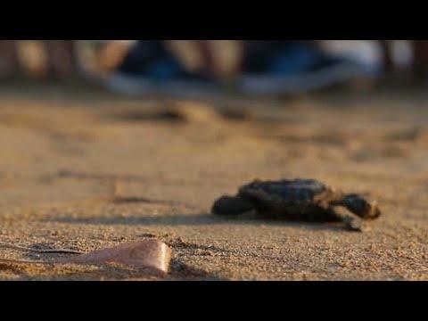Tartarugas em vias de extinção protegidas na ilha de Chipre
