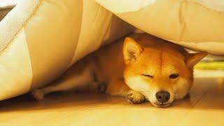 Собака собаки собак шиба ину всем собак обзор влада