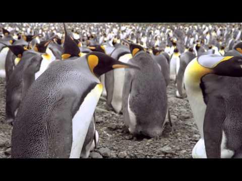 Penguen Kral (The Penguin King) / Türkçe Dublajlı Fragman