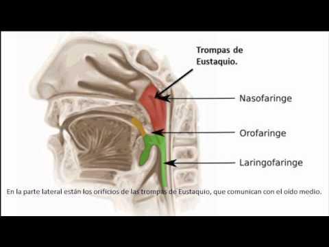 Vídeo de anatomía de Faringe TF15 Equipo 6 - YouTube
