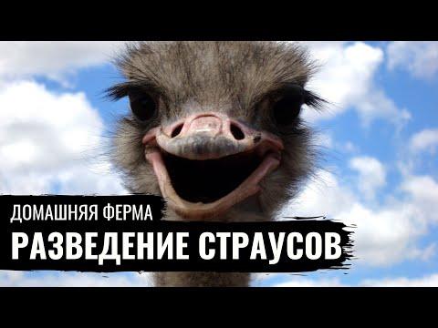 Содержание страуса в домашних условиях