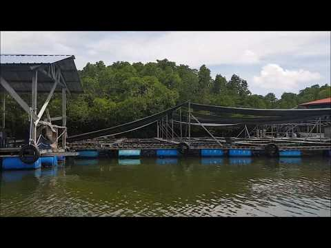 Soft Shell Crab Farm in Boxes in Malaysia with harvest