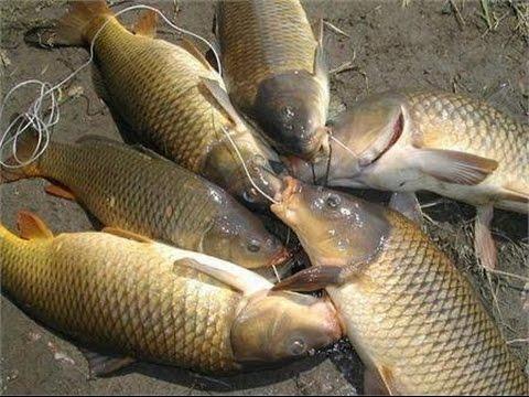 Mồi câu cá chép, trắm, trôi, … với thành mồi cực độc và dị hiệu quả – – Fishing – Đam mê câu cá.