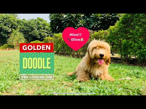 Golden doodle puppy in India | hypoallergenic dog breed India