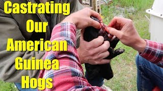 Castrating Our American Guinea Hogs