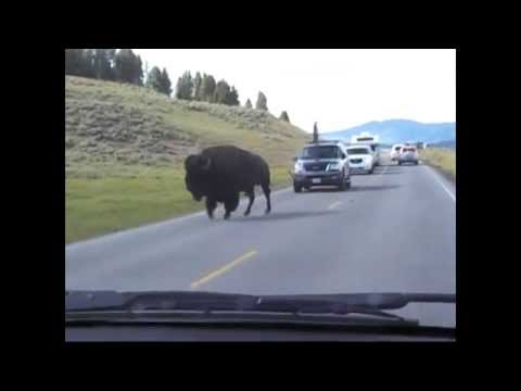 Buffalo (Bison) roaming free in Yellowstone
