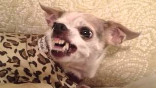 Crazy little Peter Chihuahua