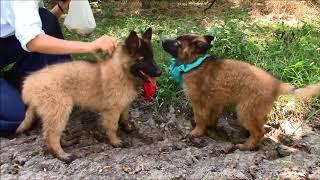 Belgian Tervuren Pups Sept  '17