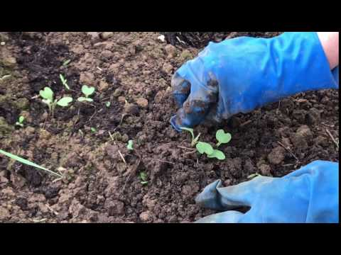 Cabbage planting, plant a green sprout vegetable. Authentic food, agriculture, organic farm plant