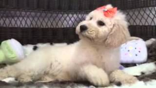 Beautiful, Hypoallergenic Goldendoodle Puppy