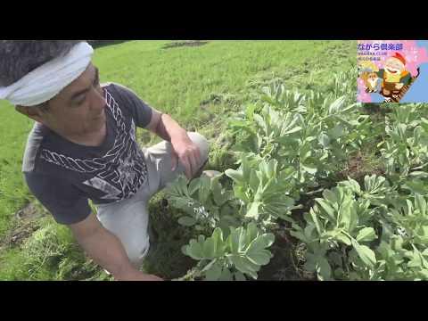 ソラマメの剪定と成長記録~自然いっぱいの農園編~
