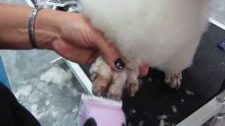 Poodle Foot Shaving