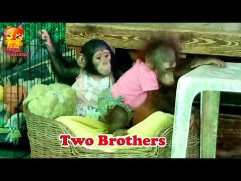 Two Brothers Baby Of Chimpanzee  @Samutprakarn Zoo