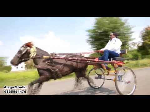 Horse King M. Venkidu's 786 at Bhavani 2017