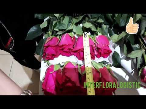 Сравнение роз сорта Gotcha от разных Эквадорских плантаций | Interfloralogistic.RU - цветы оптом