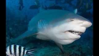 Os 10 Tubarões Mais Perigosos.