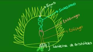 Sistema digestório dos Equinodermos - Zoologia - Biologia