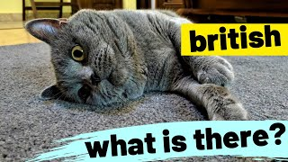 Tom's Funny Cat videos - British Shorthair #02