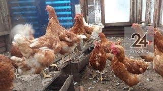 В одном из садоводческих товариществ в Нижнекамске стая псов напала на курятник