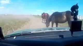 Тюмень, поле, лошадиная пробка в Патрушево. автор видео BorBro(, 2016-06-03T06:39:41.000Z)