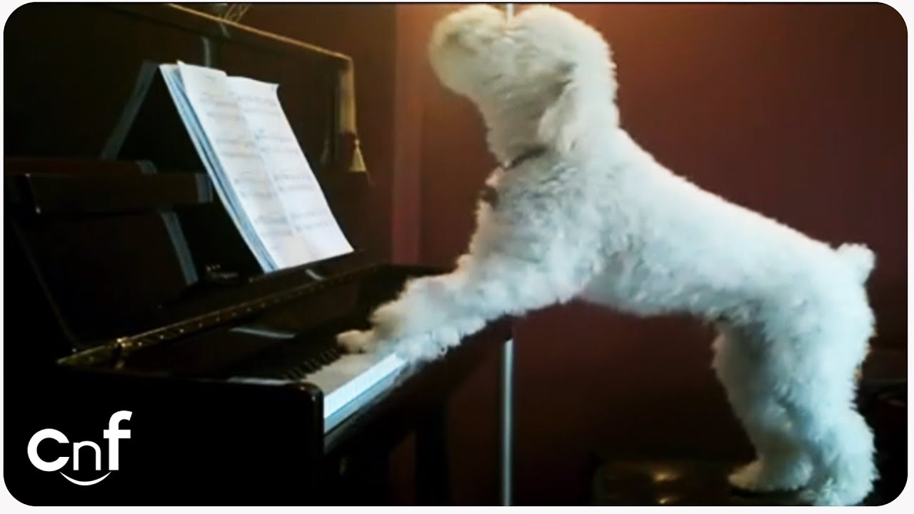 Cute Piano Wallpaper Dog Plays Piano And Sings Youtube