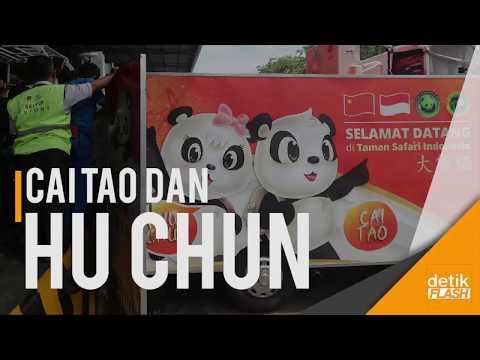 Berkenalan dengan Cai Tao dan Hu Chun, Giant Panda dari Tiongkok