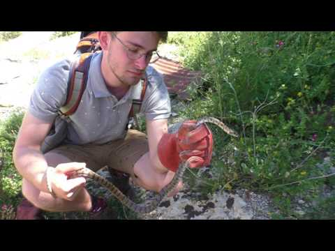 HERPING IN MALTA - Algerian whip snake, chameleons, lizards and more!