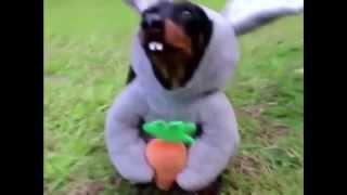 Смешные собаки в костюмах. Подборка 2015!