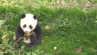 Baby Panda Rides the Rocking Horse.