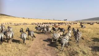 ケニアのマサイマラ国立公園に行ってきました! シマウマの群れに突撃!...
